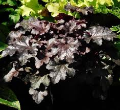 Purple Leaf Peach Tree by Coral Bells Plant Care And Collection Of Varieties Garden Org