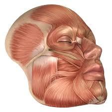 The Human Anatomy Muscles Best 25 Human Anatomy 3d Ideas On Pinterest Anatomy Drawing