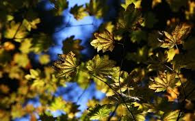 can you identify the deciduous trees of oregon oregonlive