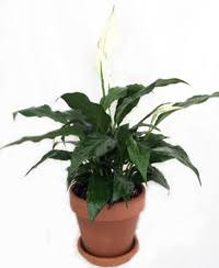 peace lily care house plants u0026 flowers