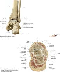 Talus Ligaments Ankle U0026 Foot Atlas Of Anatomy