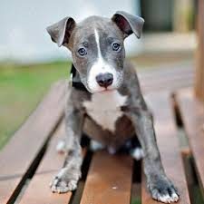 american pitbull terrier mix chipit half chihuahua half pitbull terrier this is what the