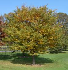 Green Vase Japanese Zelkova Pennsylvania Trees Types Of Trees In Philadelphia