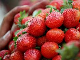 Strawberry Plant Diseases - strawberry plant pests and diseases the garden of eaden