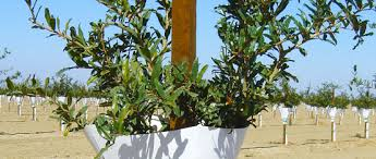 tree stakes agricultural tree stakes lodgepole pine poles