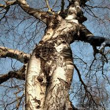 in tree form dryads