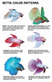betta types my aquarium betta fish