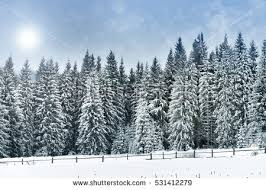 snowy tree stock images royalty free images vectors