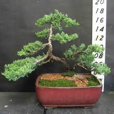 bonsai tree supplies and bonsai trees temperate and sub tropical