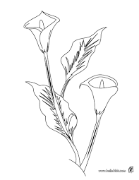 beautiful arum lily flower colouring pages picolour