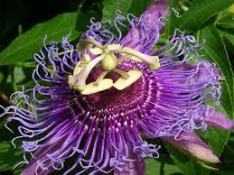 amazon com passion fruit purple flower vine maypop passiflora