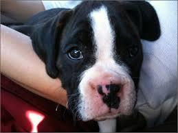 boxer dog rescue boxer times boxer dog photos boxer dog training boxer dog