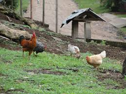 what do you do when a rooster is killed in your yard u2013 the