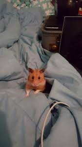 185 best hamsters images on pinterest animals hamsters and rodents
