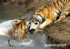 prison yak ends up in tigers stomach s daily