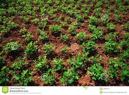 peanuts tree field stock photo image 54699779