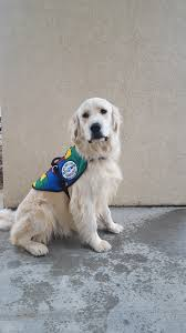 service dogs by warren retrievers delivers autism service dog to
