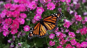 orange butterfly on pink flowers in a garden 3840x24000