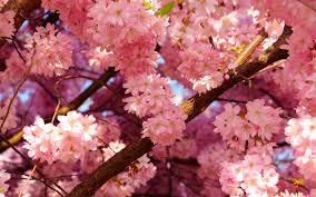 cherry blossom desktop wallpaper hd picturez