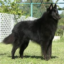 belgian shepherd herding photos 20 giant dog breeds with photos page 3 paw talk pet