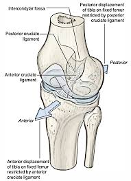 Knee Compartments Anatomy Ligaments Of The Knee Joint Earth U0027s Lab