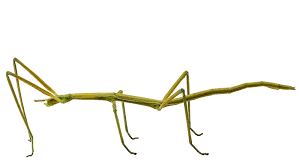 stick insect animal profile