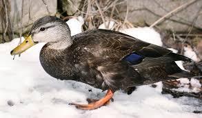 american black duck audubon field guide