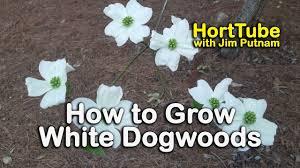 white flowering dogwood how to grow white dogwoods cornus florida white flowering