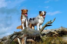 australian shepherd herding dog breeds that do well with horses platpets training