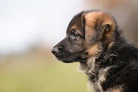 affenpinscher vs german shepherd german shepherd puppies dogtime