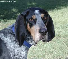 bluetick coonhound exercise a photo of a 5 old tri bluetick coonhound this breed is