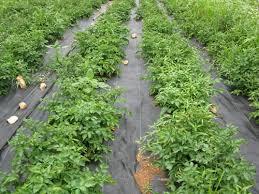 gorgeous weed control in vegetable garden preen vegetable garden