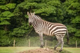 js1 zebra ksp june15 0706 jpg