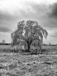 20 best willow tree images on weeping willow willow