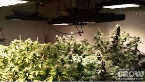 best light for weed seedlings marijuana grow lights led hps cfl