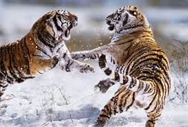 Tiger Blinds Siberian Tigers Fighting Blinds Creatively Different