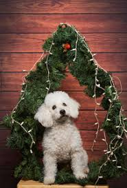 white poodle showing tongue on happy new year wooden