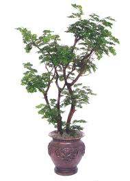 100 decorative trees for home best 25 tall indoor plants