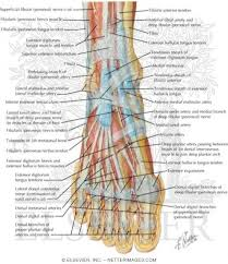 Top Foot Anatomy Do Feet Have Muscles Quora