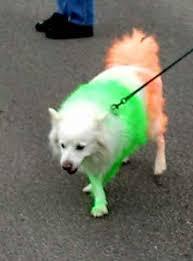 american eskimo dog ireland irish dog u2013 now here this u2013 time out london