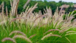 ornamental grass care archives this is my garden