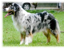 australian shepherd upkeep information on over 150 dog breeds