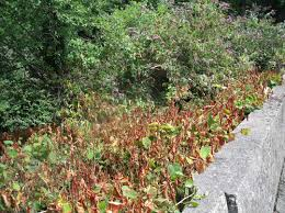 native japanese plants japanese knotweed removal invas biosecurity specialists ireland