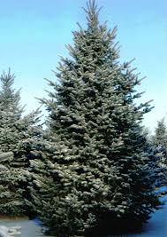blue spruce trees colorado blue spruce tree farm nursery sale arbor hill