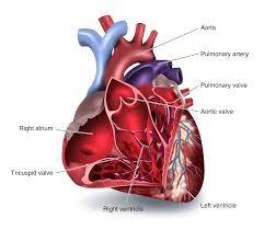 The Heart Ck 12 Foundation