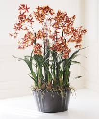 oncidium orchid oncidium orchids winward home permanent botanicals