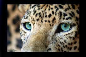 leopardeyes Avatar