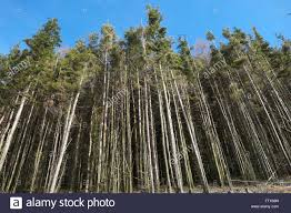 pine trees in commercial forest in wales uk stock photo royalty