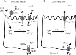 bicarbonate transport in cell physiology and disease biochemical