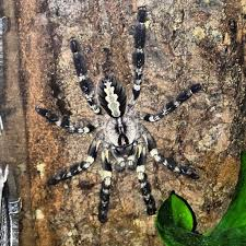 april 2016 tarantula of the month poecilotheria regalis tarantulas